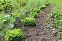 Der Salat kann geerntet werden - Foto/Abbildung: Gudrun Grandrath